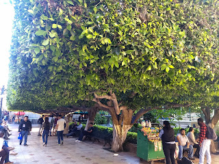 Ficus microcarpa, Laurel de Indias