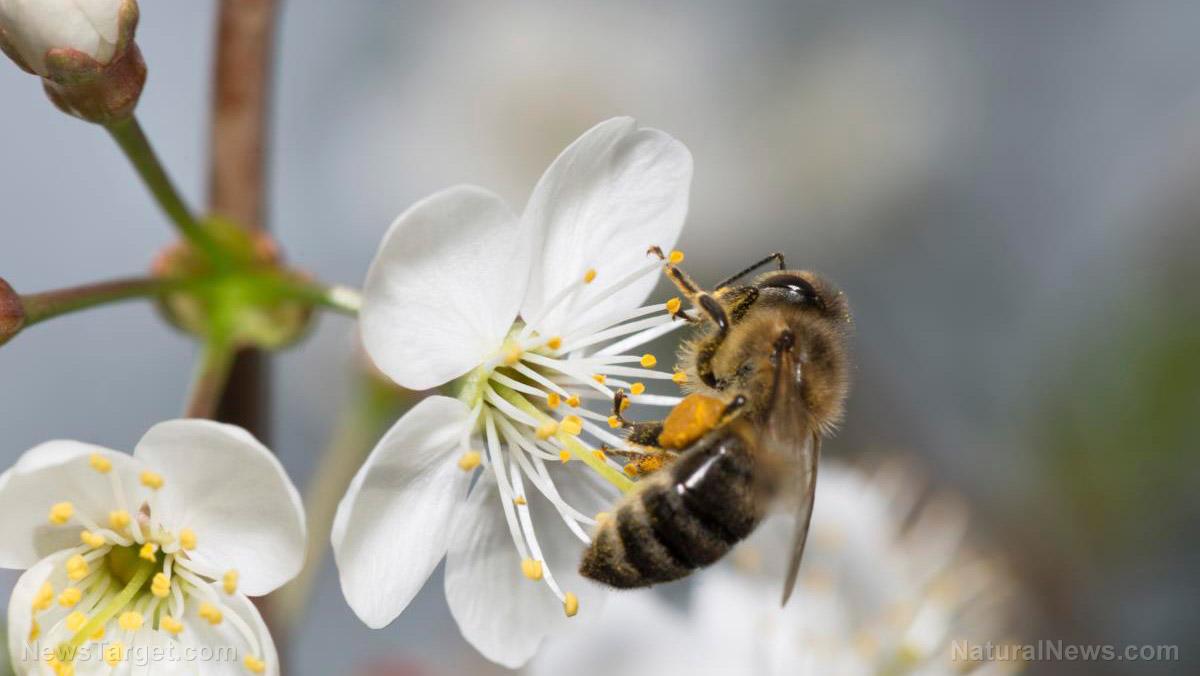 Una doppia minaccia potrebbe eliminare le api da miele, avvertono gli scienziati : i pesticidi e la diminuzione delle scorte alimentari le stanno uccidendo ad un ritmo da record
