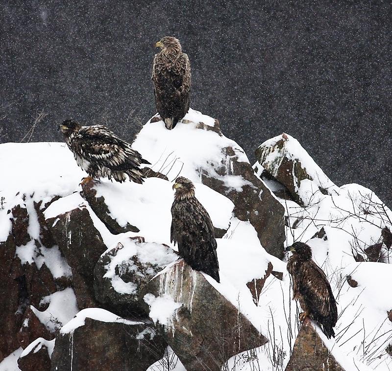 Fondo De Pantalla Animales Aves En La Nieve