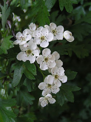 White Hawthorn Flowers Photo Wikimedia Licence CC 3.0