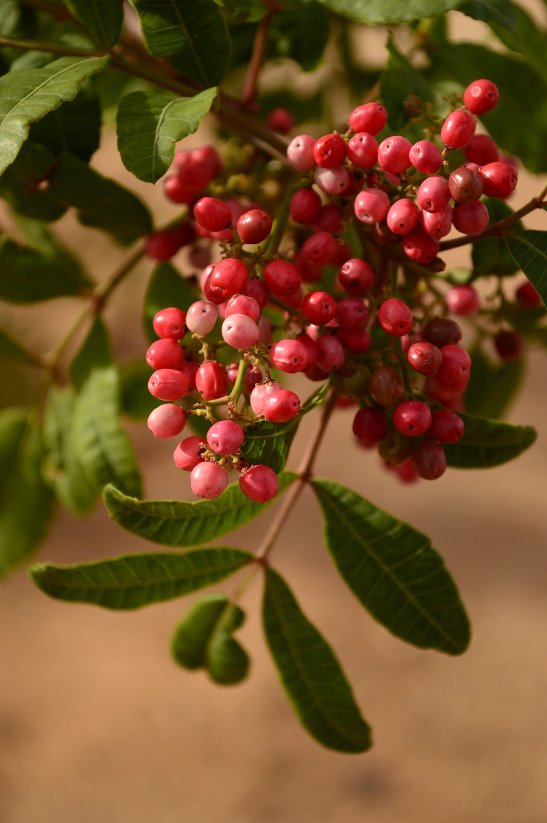 Schinus terebinthifolius berries