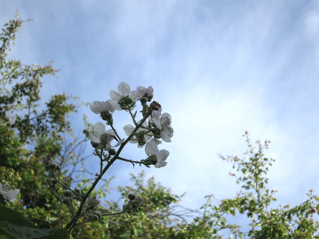 Blackberry flowers against a blue sky