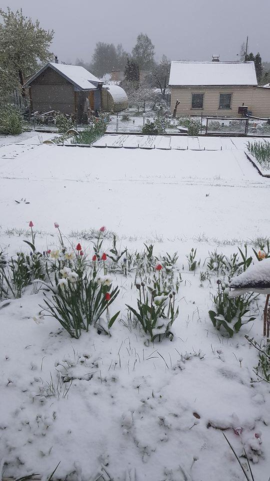 Sniegs noklāj uzziedējušās tulpes