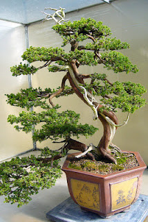 arbol bonsai