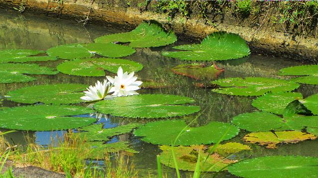 bunga teratai di bali
