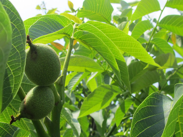 Walnut fruits growing