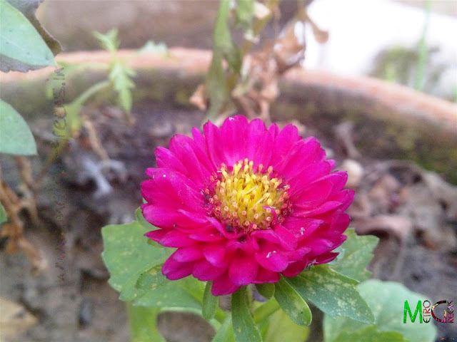 Metro Greens: A small bloom of the pink aster plant.