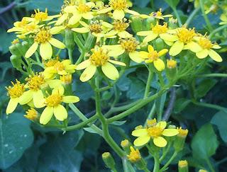Flores amarillas de senecio de hiedra (Senecio angulatus)
