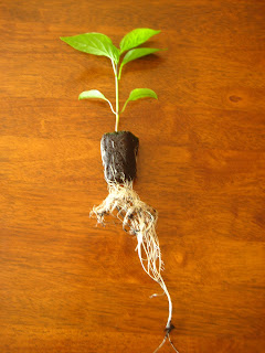 All-Roots Seed Starting System