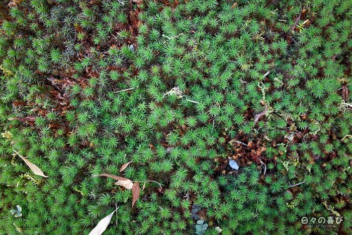 tapis de mousse, jardin Shokado de Yawata, Kyoto