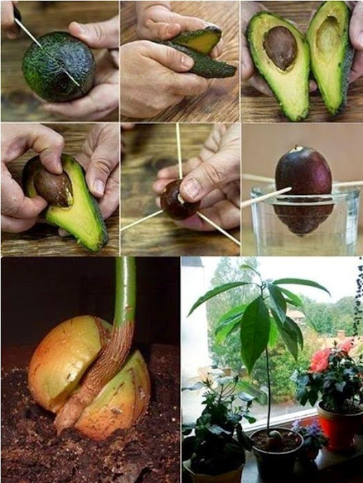 RECYCLE & SAVE WORLD: How To Grow An Avocado Tree