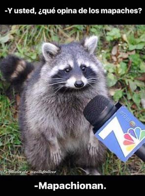 y usted, qué opina de los mapaches?, mapachionan
