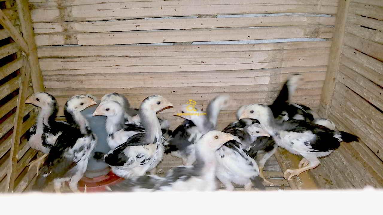 Cara Memilih Ayam Bangkok Dari Telur