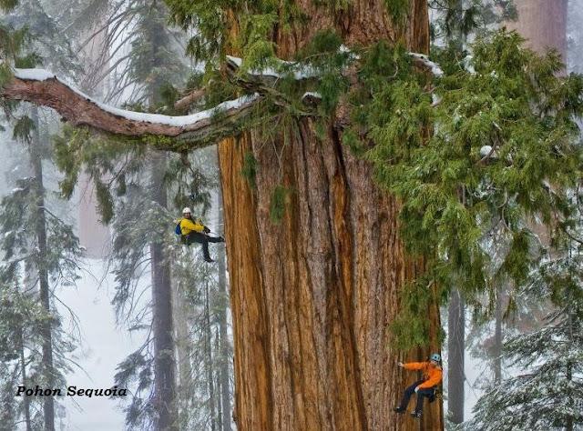 Pohon Sequoia