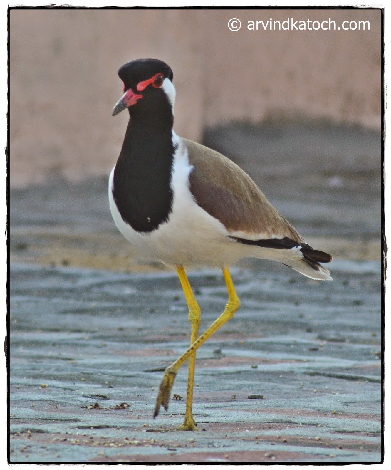 Red-wattled standing, one foot