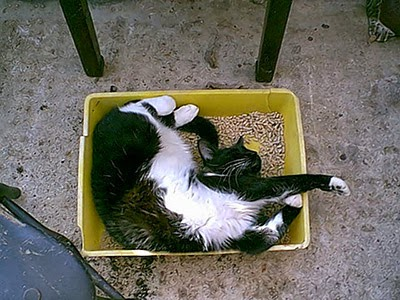 Black-and-white cat in litter tray