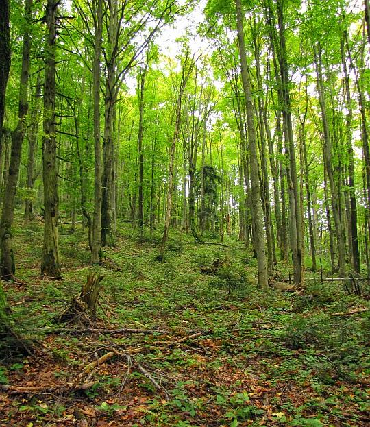 Rożki - las na zboczu opadającym od szczytu.
