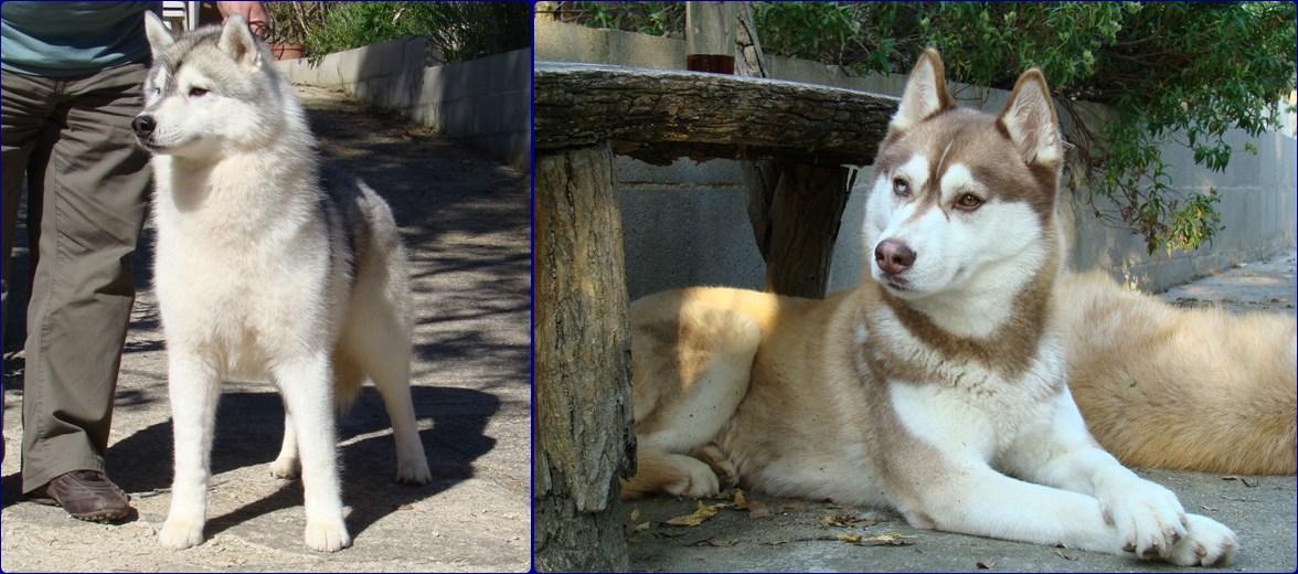 Camada Cachorros Siberian Husky Duque de Ciukci y Yentls Melody Yulia Roberts