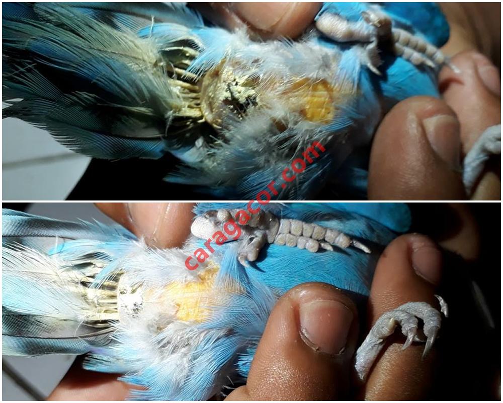 520+ Foto Gambar Burung Lovebird Nglemak  Terbaru
