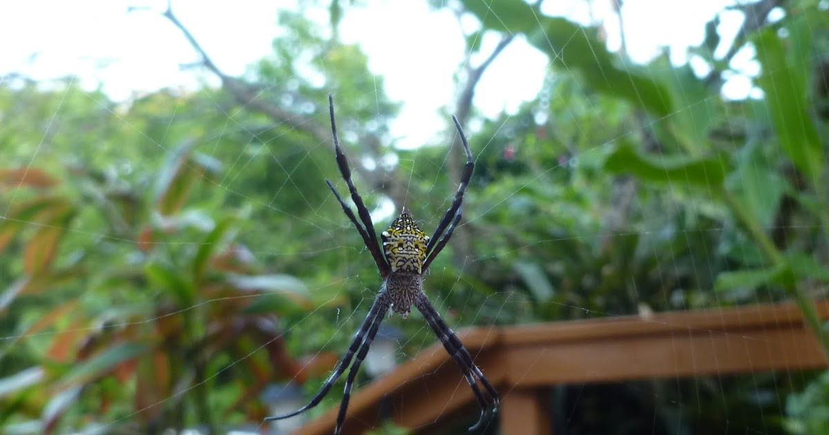Maui Jungalow First Banana Spider Of The Season