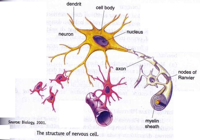 The Structure Of Nervous Cell ~ New Science Biology