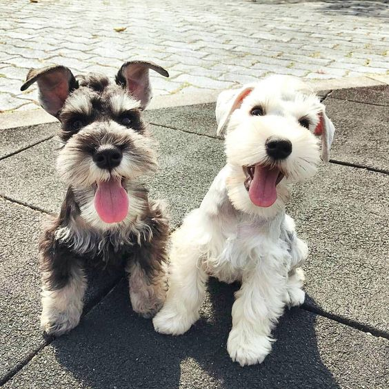 The Schnauzer Dog Breed One Name Three Different Breeds