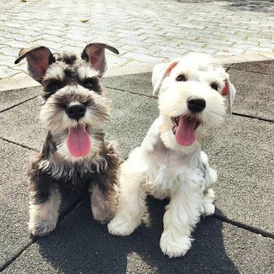 Schnauzer Dog breed information
