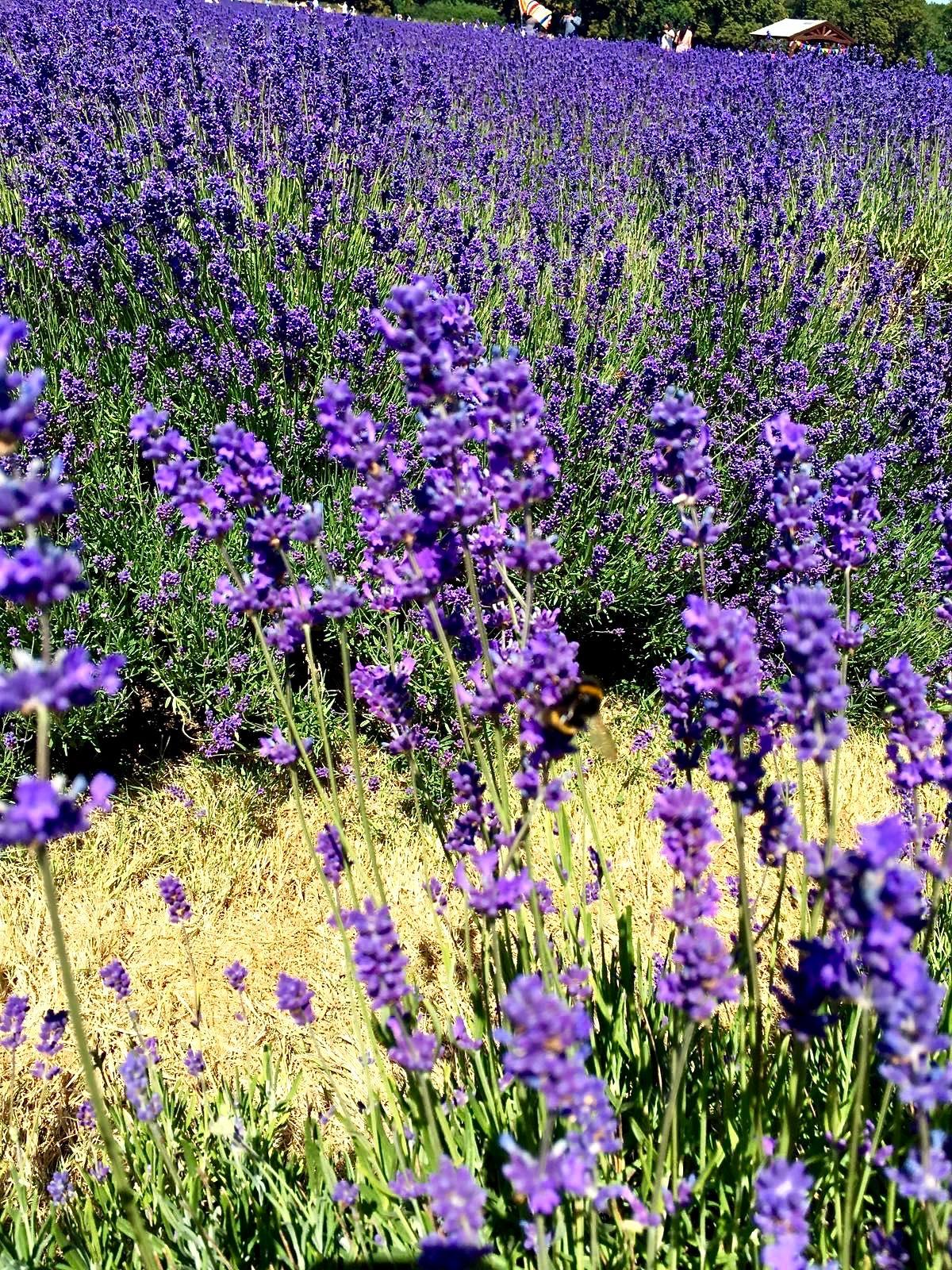 near london lavender fields