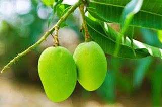 Benefits Leaves Mango