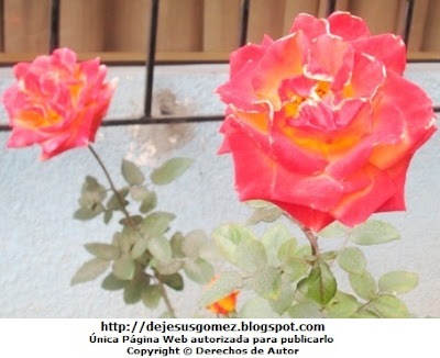 Foto de Rosas con hojas. Foto tomada por Jesus Gómez