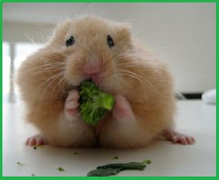 makanan untuk hamster yang wajib anda berikan