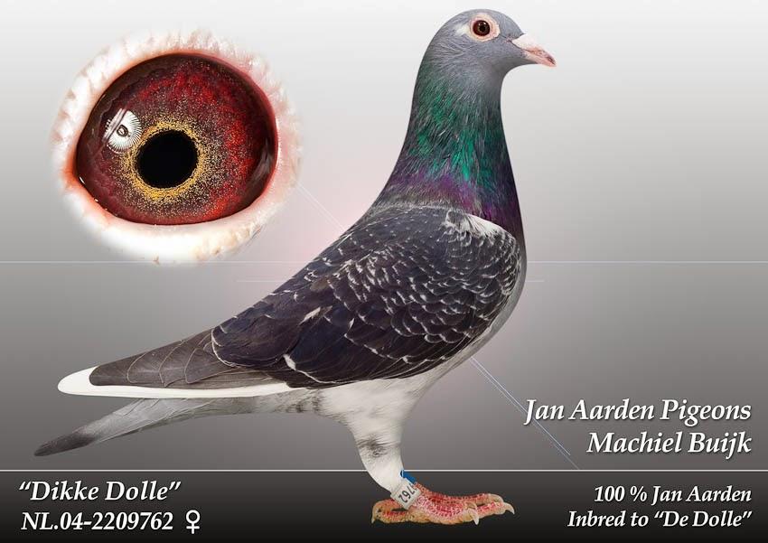 Jan Aarden Racing Pigeons  Homer Racing Pigeons