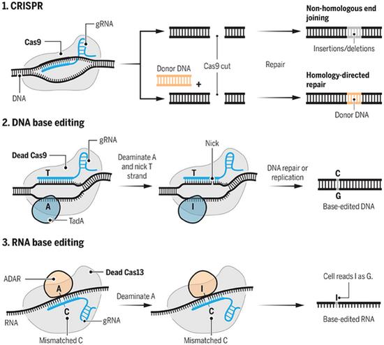 LaporanPenelitian.com REPAIR CRISPR-Cas13 Merevisi Salah Ketik Gen
