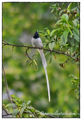 Male, Asian Paradise Flycatcher