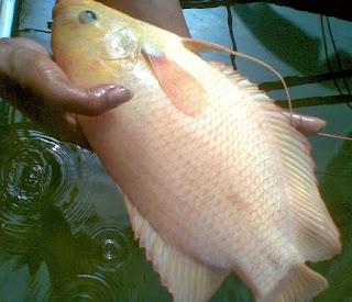 budidaya ikan gurame di kolam tembok,budidaya ikan gurame di kolam terpal,makanan ikan gurame,harga bibit ikan gurami,mempercepat pertumbuhan ikan gurame,
