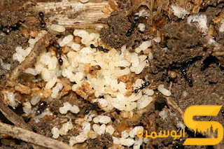 سبب انتشار النمل الابيض