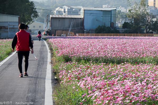 烏日高鐵旁拔蘿蔔2/1登場,還有數公頃論子巷花海賞花拍美照