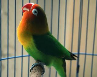 lovebird juara