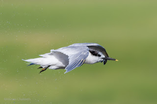 Sandwich Tern in Flight - Capturing / Tracking Variables for Improved Birds in Flight Photography