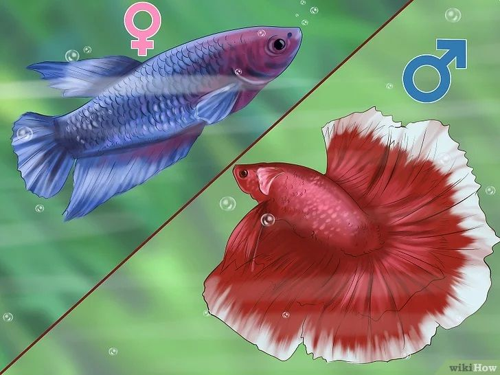 Image and Photo Betta Breeding Tips and Tricks