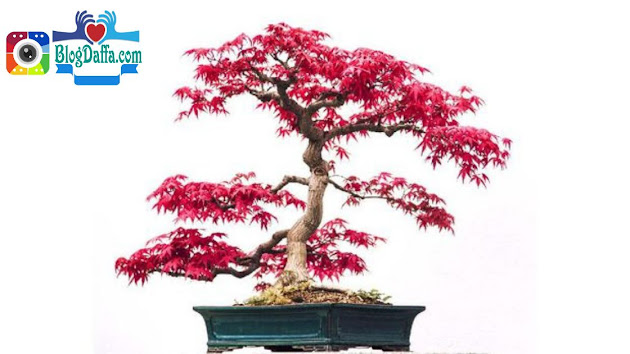 Bonsai Pitaloka atau bonsai serut merah