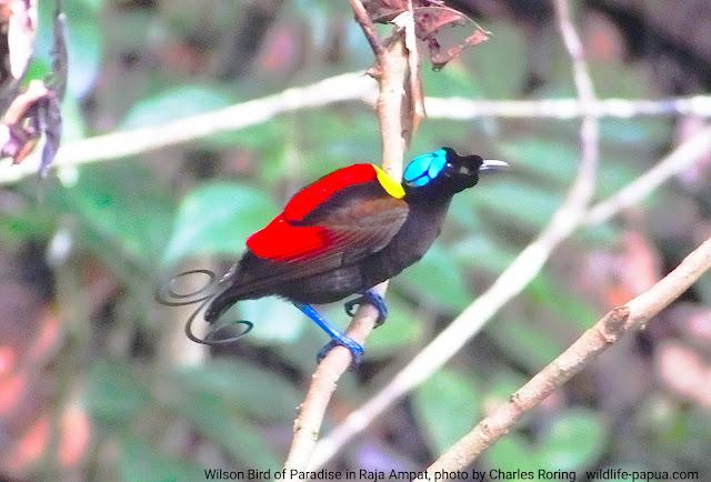 Wilson's Bird of Paradise (Diphyllodes respublica)