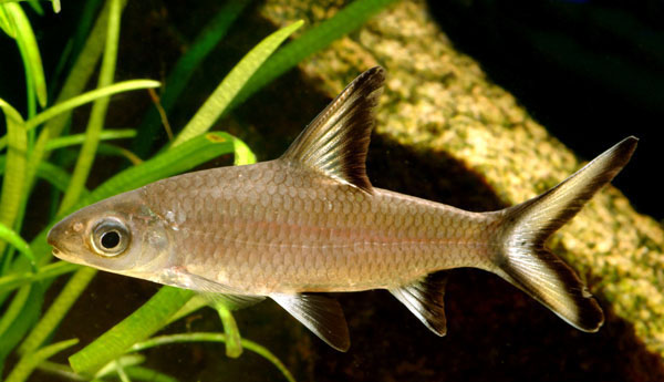cá hỏa tiễn nuôi trong hồ thủy sinh