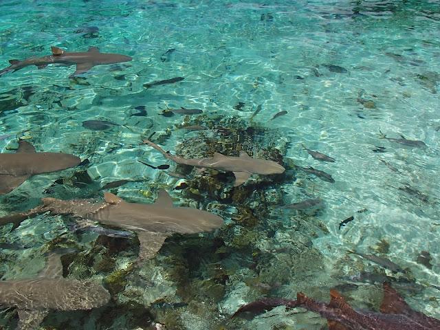 sharks at Saddleback Cay