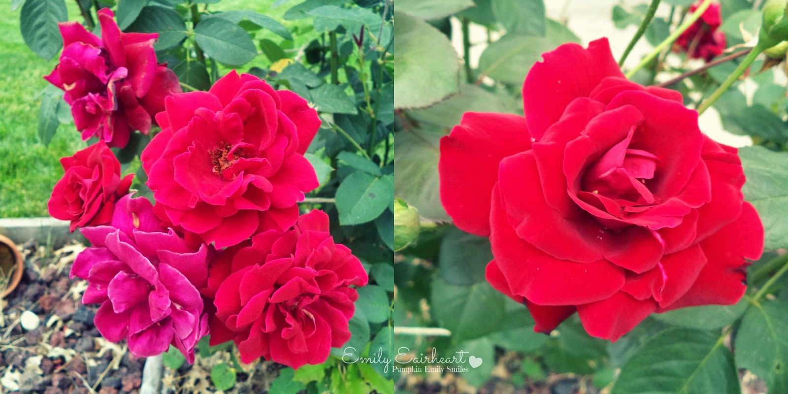 Two images of red roses.
