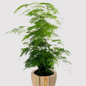 tanaman hias asparagus