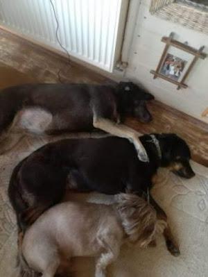trei caini dormind unul langa celalalt