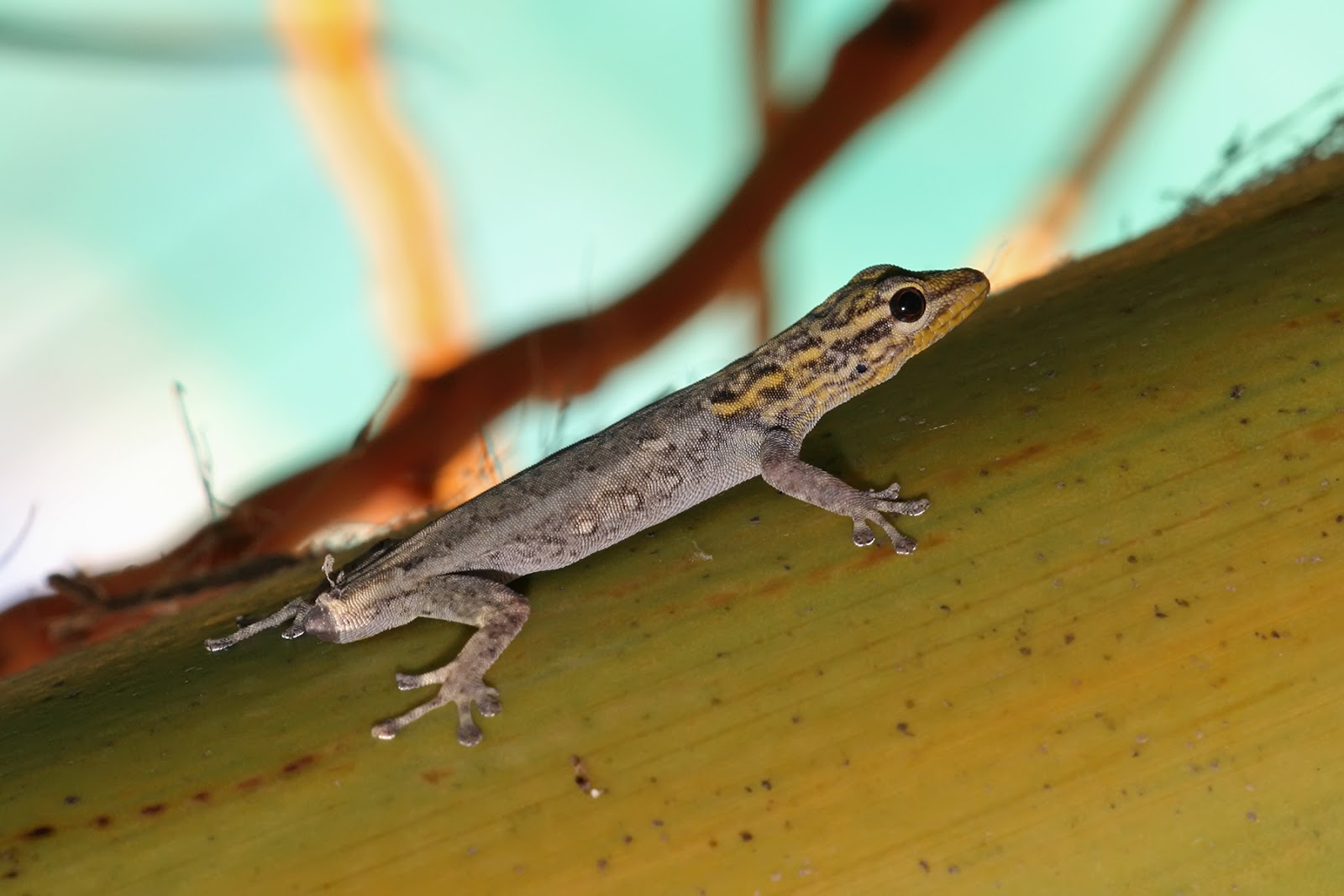 Reptiles: White-headed dwarf gecko