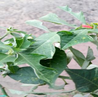 SUMMER POINSETTIA LEAVES - பால்பெருக்கி இலைகள்
