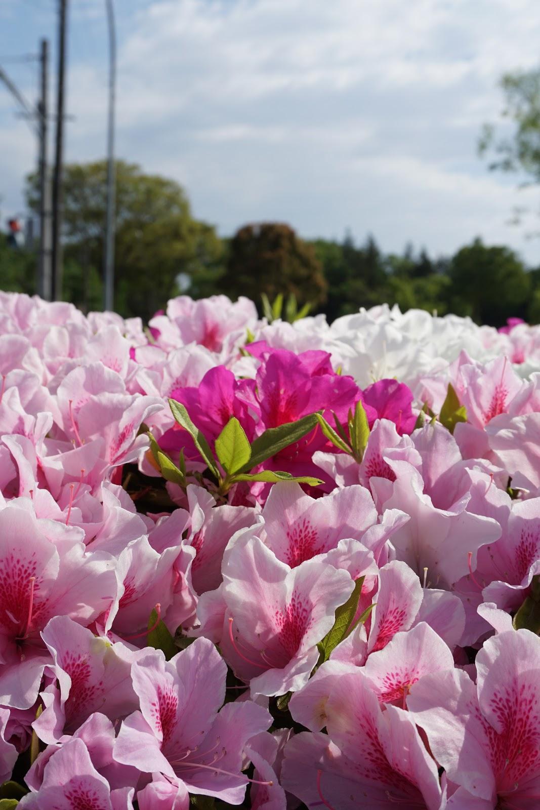 植え込みのピンクの躑躅の花